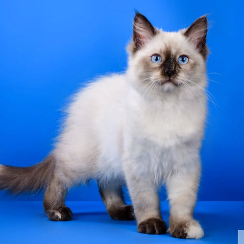 40 Bastet  Siberian female kitten