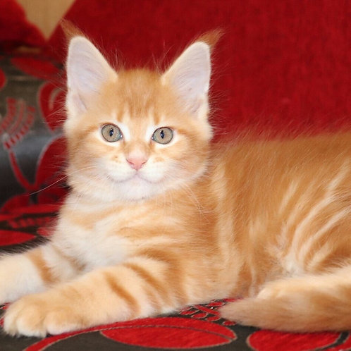 605 Nora Maine Coon female kitten