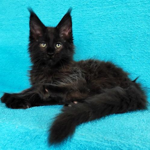 516 Nurik  Maine Coon male kitten