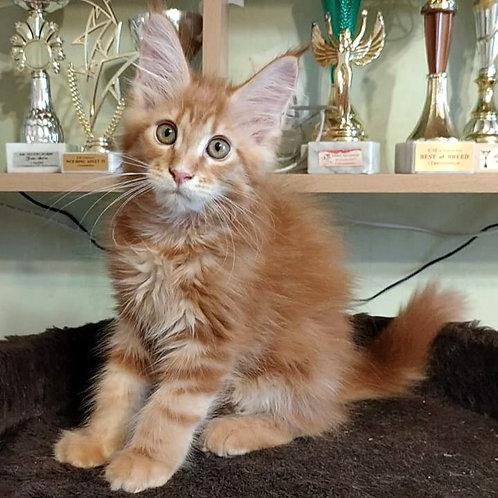 428 Jeronimo  Maine Coon male kitten