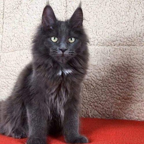 Ezmeralda Maine Coon female kitten