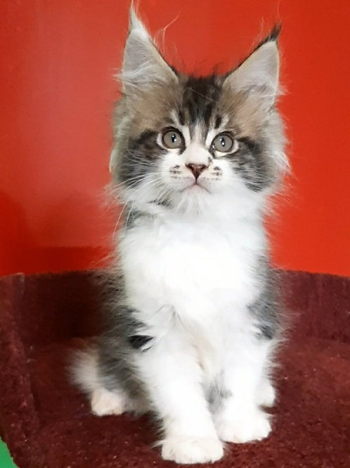 538 Narcissus Maine Coon male kitten