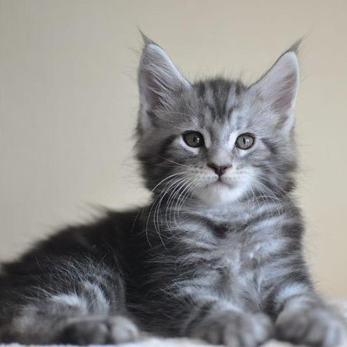Ian Maine Coon male kitten