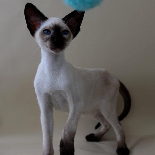 342 K*Nelson Siamo Oriental male kitten