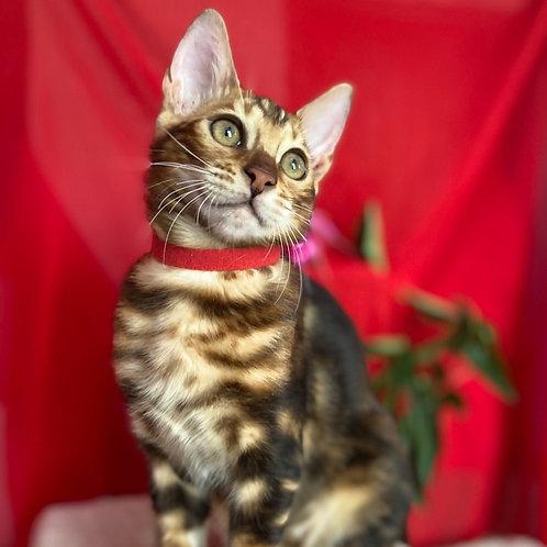 170 Gloriya  purebred Bengal female kitten