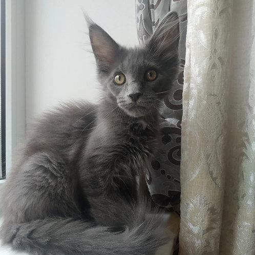 260 Rasmus    Maine Coon male kitten