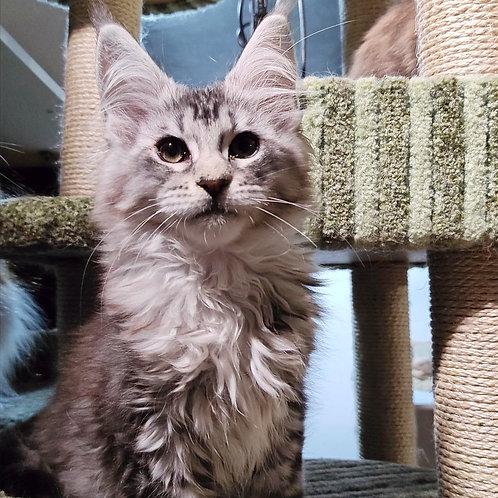 116 Richmond  Maine Coon male kitten