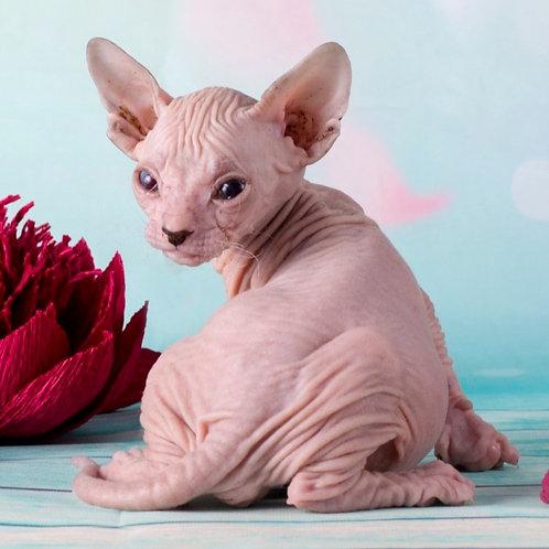 413 Eferii   male Sphinx Donskoy kitten