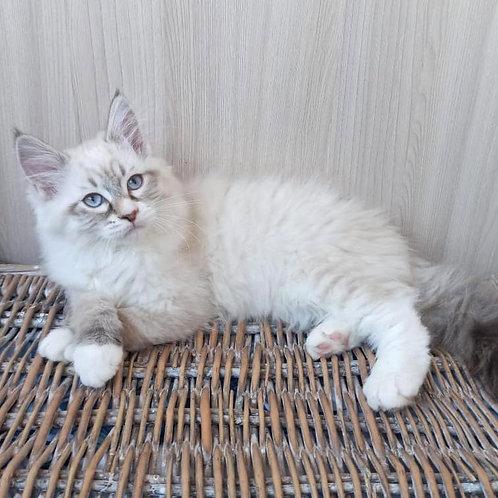 55 Bayan  Siberian male kitten