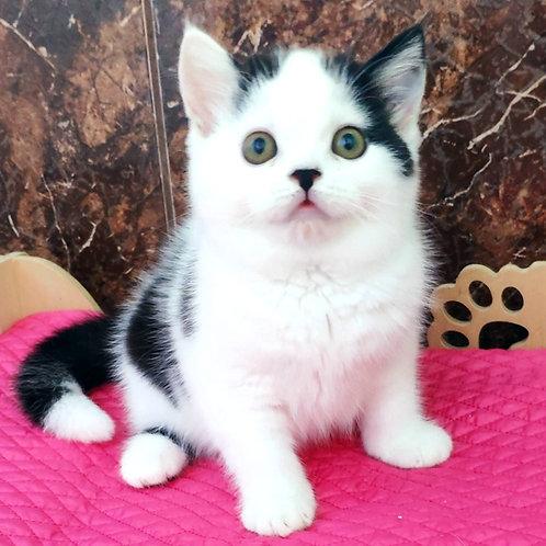 991 Xander   Scottish straight shorthair male kitten