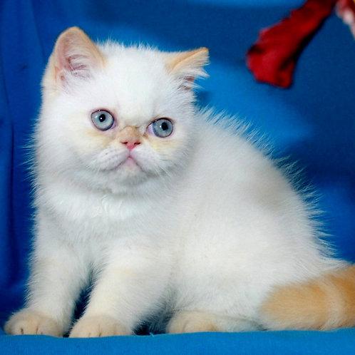 100 Roza Exotic  female kitten