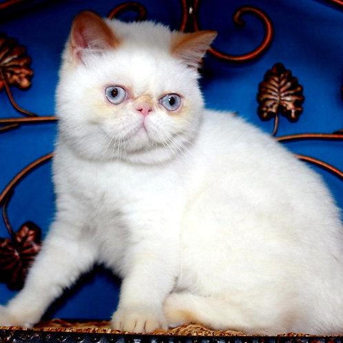 206 Misie   Exotic  female kitten