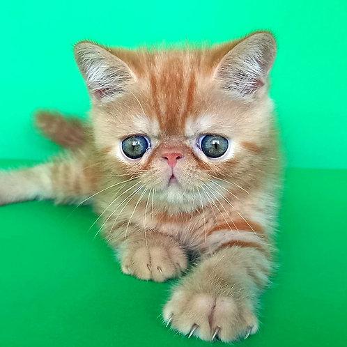 85 Douglas  Exotic  male kitten