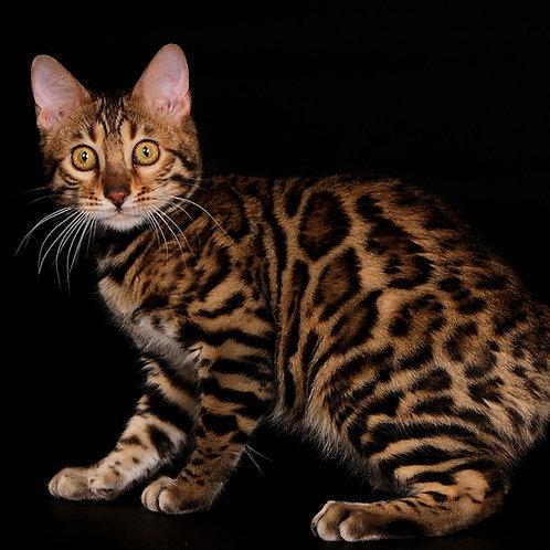 214 Lakki purebred Bengal male kitten