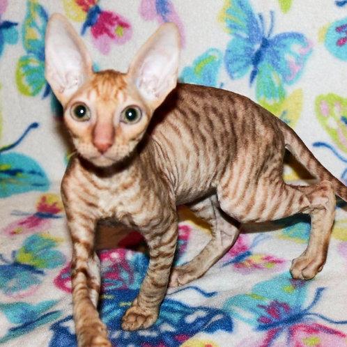 201 Galileo  male kitten Cornish Rex