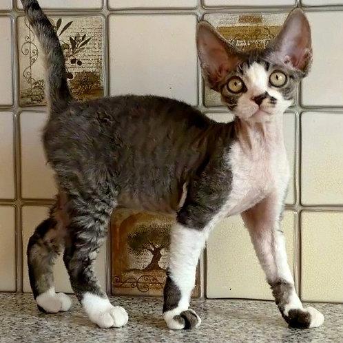 432 Hugo   male Devon Rex kitten