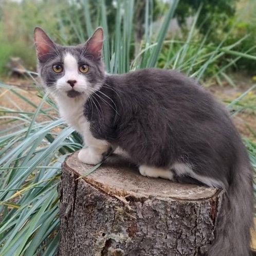 929 Elvis     Munchkin longhair male kitten