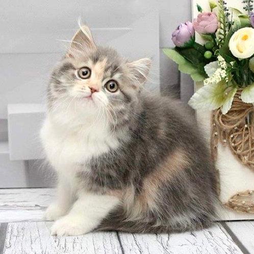 933 Vanessa  Scottish straight longhair female kitten