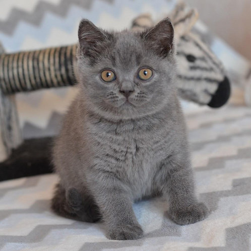 Roberto British shorthair male kitten