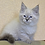Thumbnail: 127 Francis     Siberian male kitten