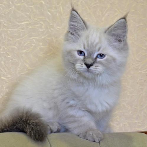 127 Francis     Siberian male kitten