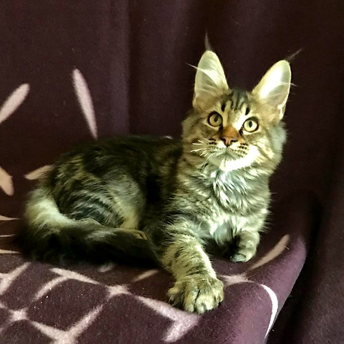 794 Zarina   Maine Coon female kitten