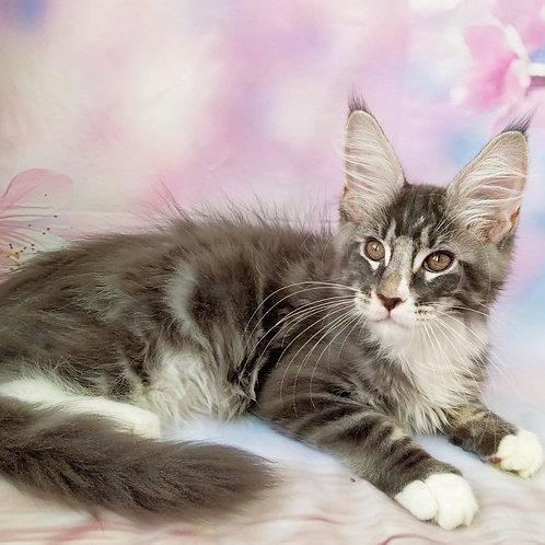 Respect Maine Coon male kitten