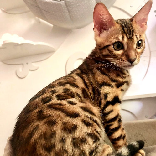 244 Patricia purebred Bengal female kitten