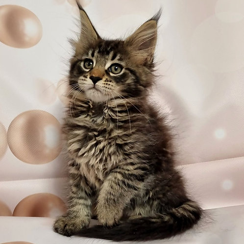 333 Rumba  Maine Coon female kitten