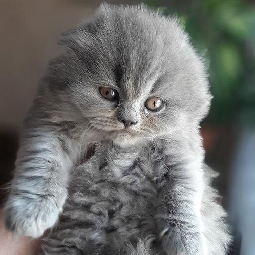 416 Pushynka      Scottish fold longhair female kitten