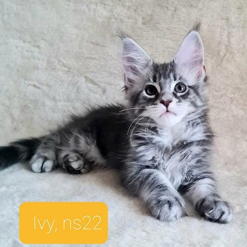 429 Ivy  Maine Coon female kitten