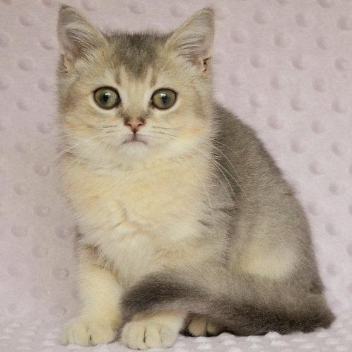 728 Max  British shorthair male kitten