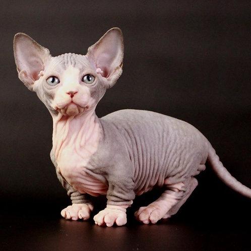 Porthos male Bambino kitten
