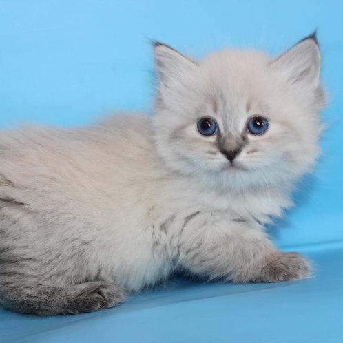 118 Tantra     Siberian female kitten