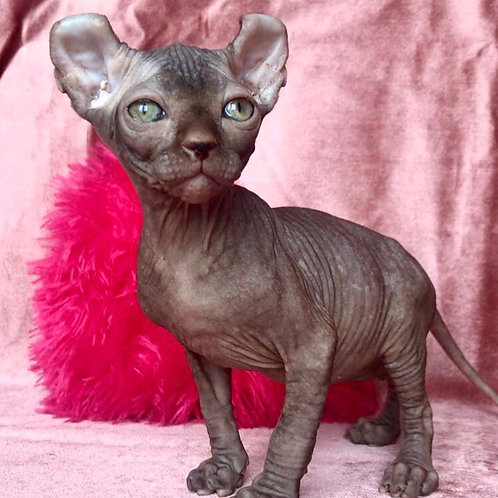 444 Yasson  male Elf   kitten