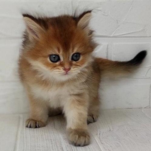 1093 Eric  British longhair male kitten