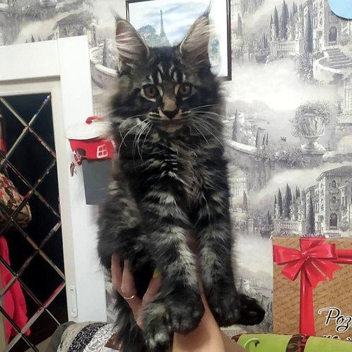 491 Aslan    Maine Coon male kitten