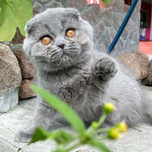 739 Eva   Scottish fold shorthair female kitten