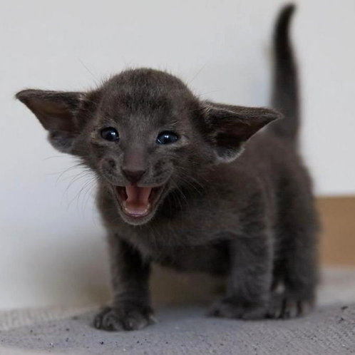439 Indigo Oriental male kitten