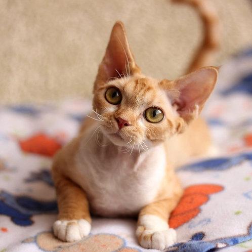 160 Alizee  female kitten Devon Rex