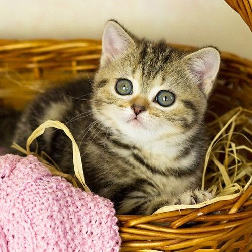 905 Gabby  British shorthair female kitten