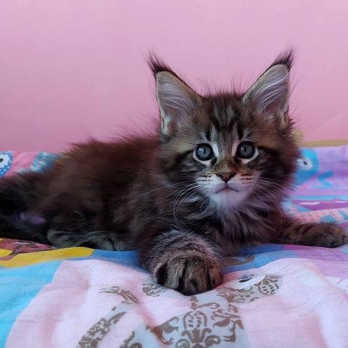 379 Darkstar  Maine Coon male kitten