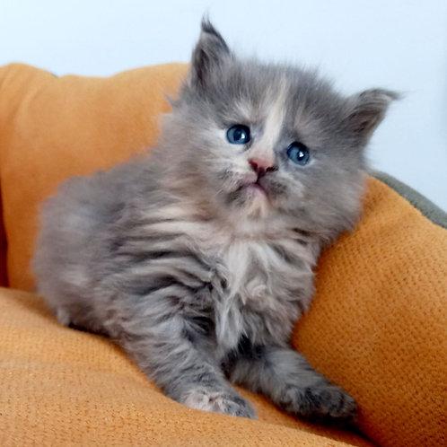 398 Zuma  Maine Coon female kitten