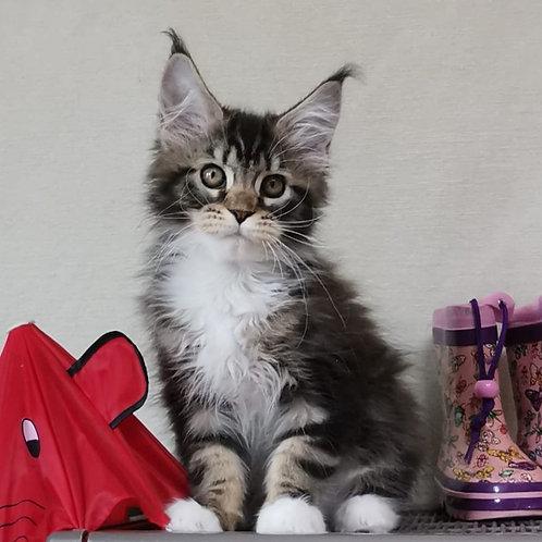 548 Dolly Bell    Maine Coon female kitten
