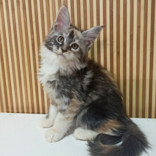 749 Aishe Sultan Maine Coon female kitten