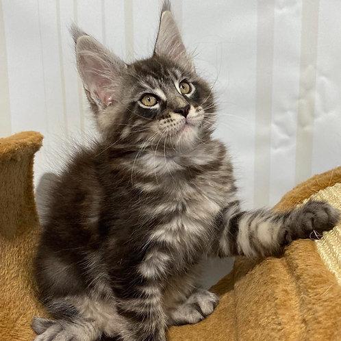 541 Beysmand Maine Coon male kitten