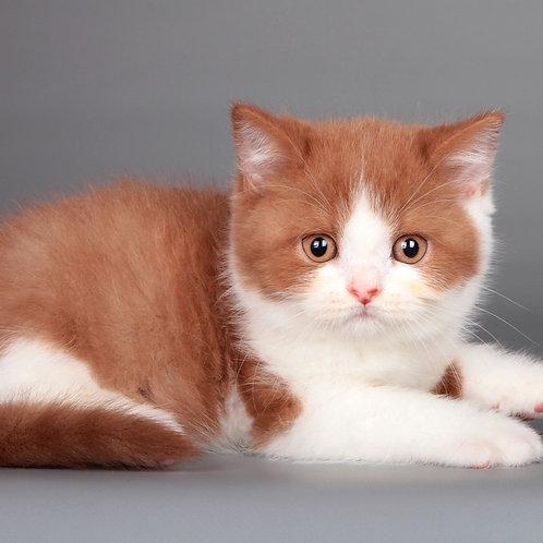 459 Nagloxvat      Scottish straight shorthair male kitten