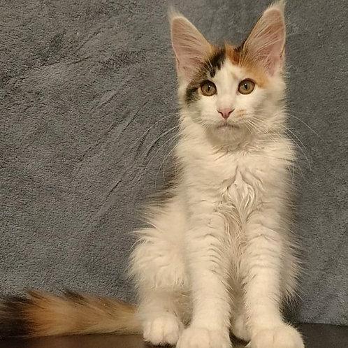 498 Jasmin  Maine Coon female kitten