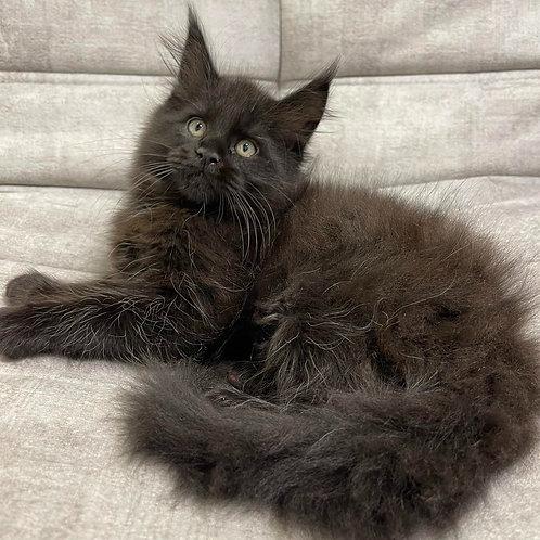 369 Maibah   Maine Coon male kitten