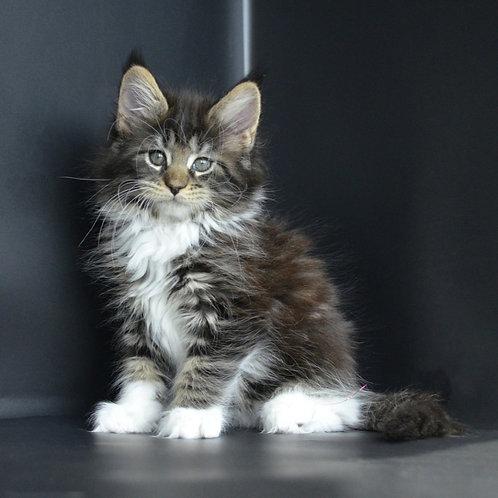 Astoria Maine Coon female kitten